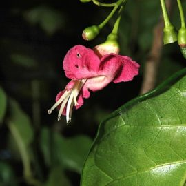 Puriri Flower