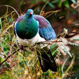 Kukupa (Wood Pigeon)