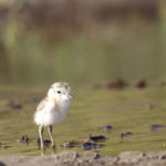 Alert Dotterel at young age