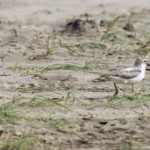 Female dotterel leads her chicks to safety