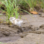 Dotterel chick heads for cover