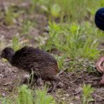 Brown Kiwi heads for freedom