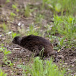 Brown Kiwi in a new environment