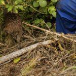 Brown Kiwi heads into bush