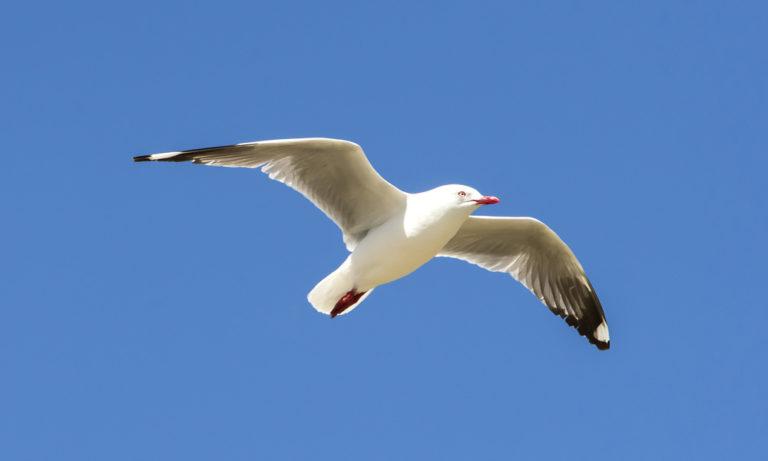 Matapouri Birds - Red Billed Gull